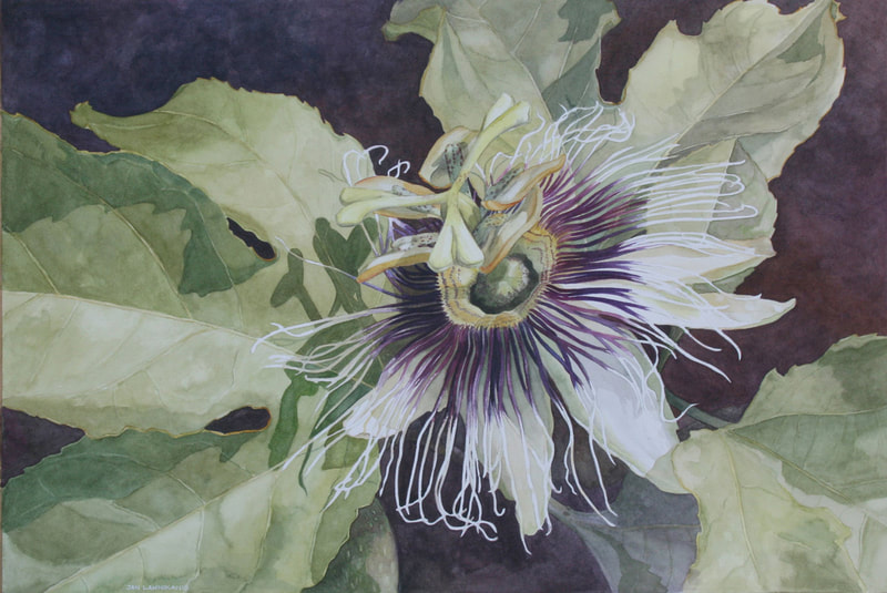 Passionfruit flower, watercolour