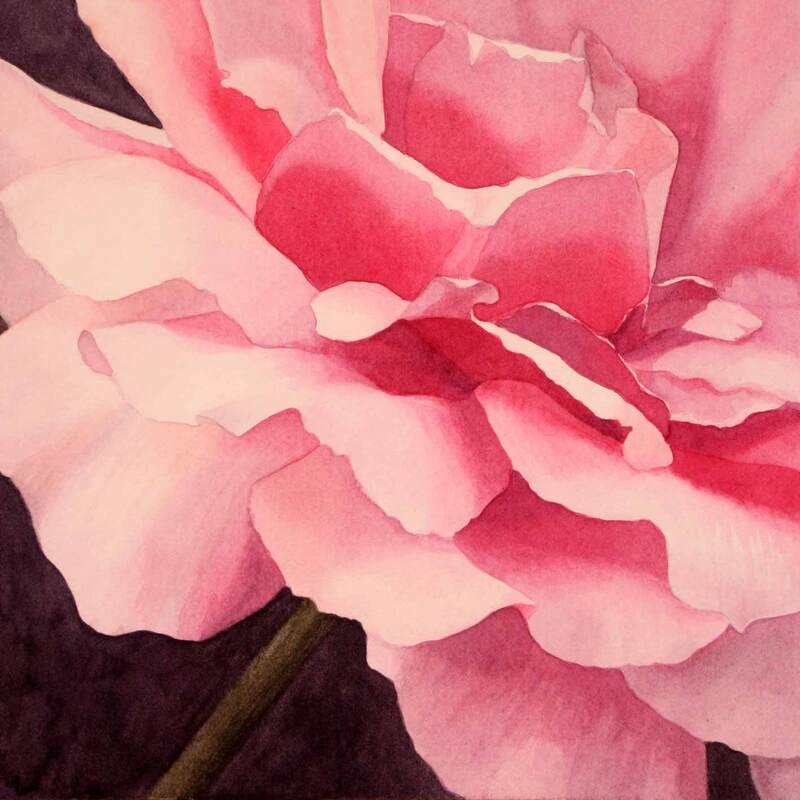 Pink rose 2 close-up, watercolour